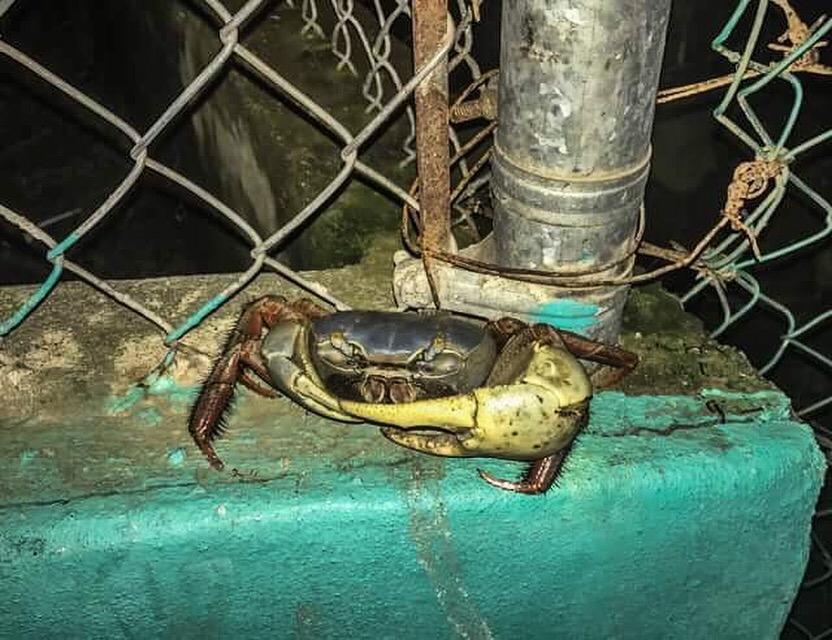 De mega krab